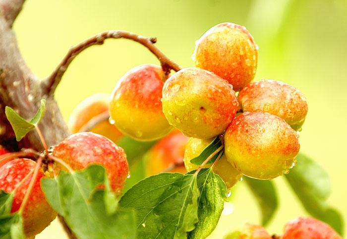随着农业产业结构调整不断深入,巴仁杏作为阿克陶县的特色林果业倍受