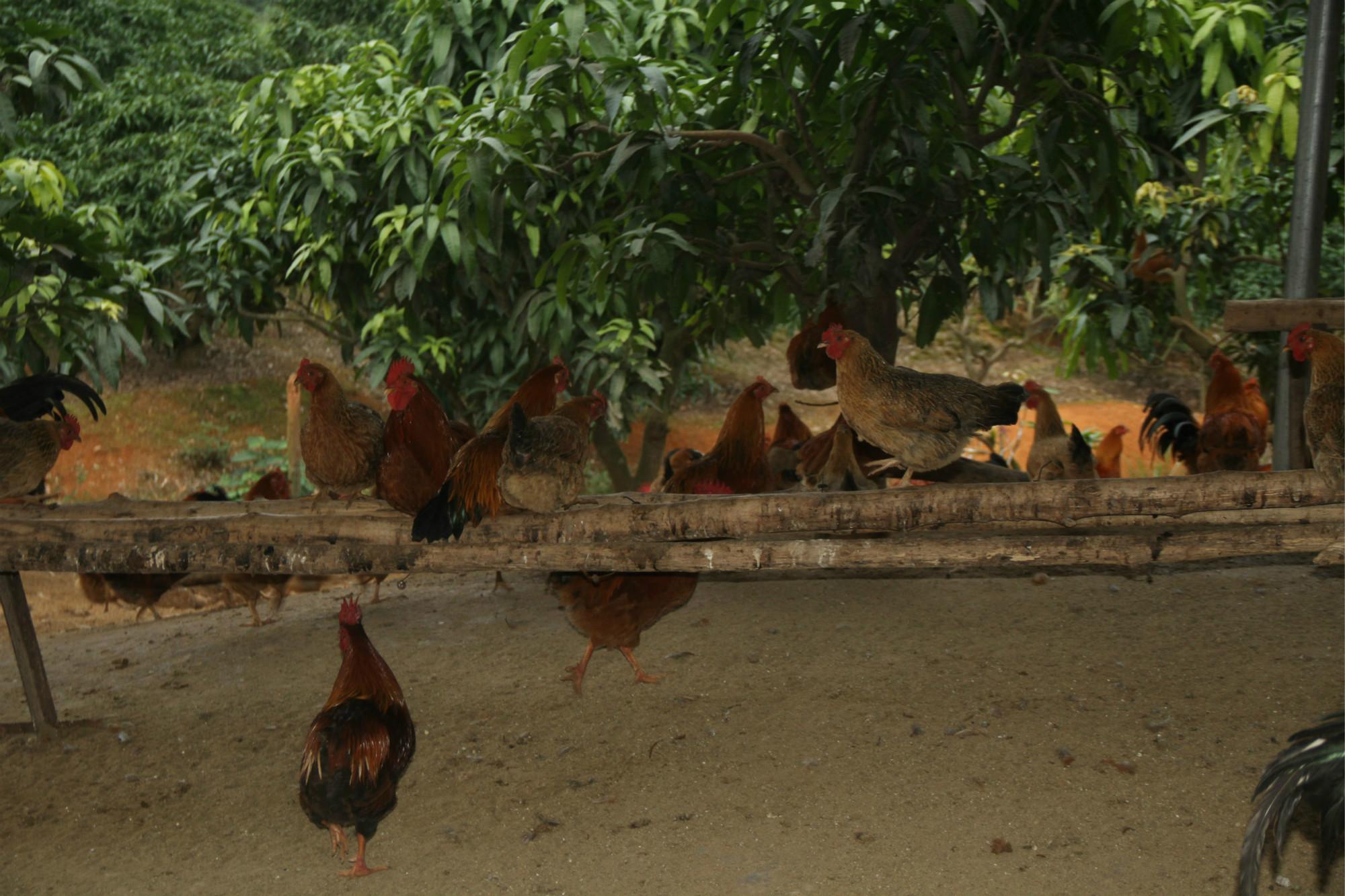 芒果树下养鸡